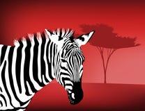 Zebra By an Acacia Tree Royalty Free Stock Photo