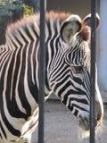 Zebra achter de tralies royalty-vrije stock foto's