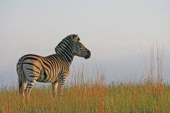 Zebra ad alba Fotografie Stock