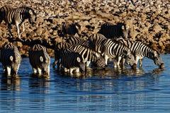 Zebra ad un waterhole ad alba immagine stock libera da diritti