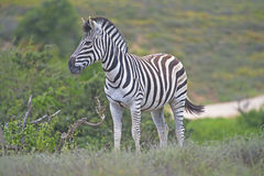 Zebra Addo Royalty Free Stock Images