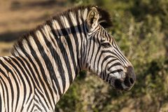 Zebra in Addo Elephant National Park in Port Elizabeth - Zuid-Afrika stock afbeeldingen