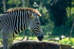 Zebra adulta fotos de stock