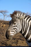 Zebra in Africa. Zebra in a national park, South Africa Royalty Free Stock Photo