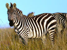 Zebra in Africa. Zebra in Kenya Royalty Free Stock Photo
