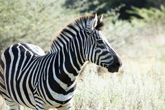 Zebra in Africa Royalty Free Stock Images