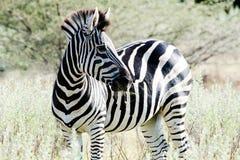 Zebra in Africa Fotografia Stock Libera da Diritti