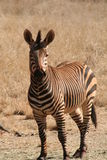 Zebra in Africa Fotografie Stock Libere da Diritti