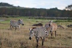 Zebra Africa Immagini Stock Libere da Diritti