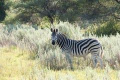 Zebra in Africa fotografia stock