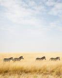 Zebra in Africa con lo spazio della copia Fotografie Stock Libere da Diritti