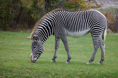 Zebra. Africa zebra is eating grass Royalty Free Stock Image