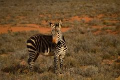 Zebra in Africa stock photography
