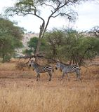 Zebra in Africa safari Tarangiri-Ngorongoro. Zebras in Tarangiri-Ngorongoro Africa Safari, zebra safari, savannah, zebras in the wild, wildlife, nature around us Stock Photos
