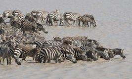 Zebra. Royalty Free Stock Photography
