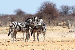 Zebra in african bush Royalty Free Stock Photos
