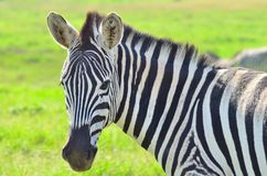 Zebra in a African game reserve. Zebra in a reserve in Africa with a injured ear Stock Photo