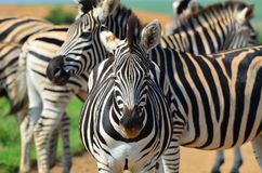 Zebra in a African game reserve. Zebra in a reserve in Africa with a injured ear Royalty Free Stock Photos