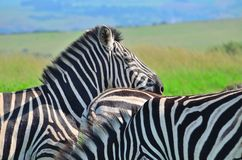 Zebra in a African game reserve. Zebra in a reserve in Africa with a injured ear Stock Photography
