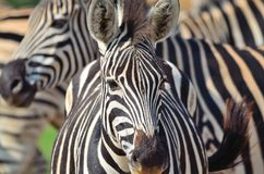 Zebra in a African game reserve. Zebra in a reserve in Africa with a injured ear Royalty Free Stock Photo