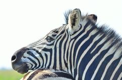 Zebra in a African game reserve. Zebra in a reserve in Africa with a injured ear Stock Image