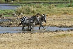Zebra Royalty Free Stock Photo