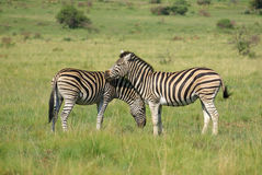 Zebra on African plains. 2 Zebra in African grassland Stock Photography