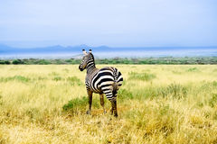 Zebra in African savannah looks into distance Stock Photography