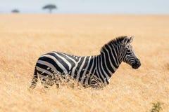 Zebra in african savannah, at Masai Mara , Kenia. Famous wildlife destination in Africa royalty free stock photos