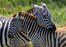 Zebra in the African savannah Royalty Free Stock Photo