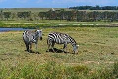 Zebra in the African savannah Royalty Free Stock Photos