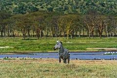 Zebra in the African savannah Stock Image