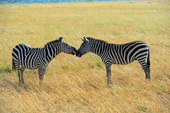 Zebra in the African savannah Stock Images