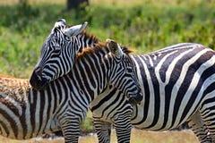 Zebra in the African savannah Stock Photo