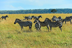 Zebra in the African savannah Royalty Free Stock Image