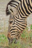 Zebra - African Wildlife Background - Eating Pleasure. A Burchell's Zebra grazing poses for a close-up, as seen in the wilds of Namibia, southwestern Africa Stock Photo