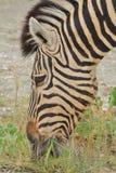 Zebra - African Wildlife Background - Eating Pleasure Stock Photo