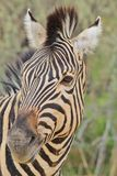 Zebra - African Wildlife Background - Face Stripes. A Burchell's Zebra pose for a close-up, as seen in the wilds of Namibia, southwestern Africa Stock Photos