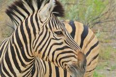 Zebra - African Wildlife Background - I am Beautiful Stock Image