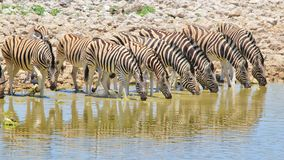 Zebra - African Wildlife Background - Lined up Colors in Nature Stock Photos