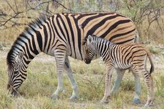 Zebra - African Wildlife Background - My Beautiful Striped Mother Royalty Free Stock Photos