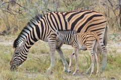 Zebra - African Wildlife Background - My Striped Mother Stock Photography