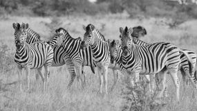 Zebra - African Wildlife Background - Posture in Black and White Royalty Free Stock Image