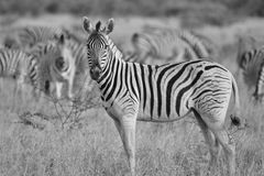 Zebra - African Wildlife Background - Posture in Monochrome Stock Photos