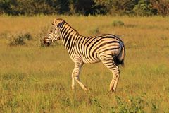 Zebra - African Wildlife Background - Running Stripes Royalty Free Stock Photo