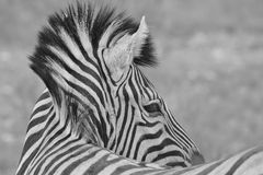 Zebra - African Wildlife Background - Stallion Stripes. A Burchell's Zebra stallion pose, as seen in the wilds of Namibia, southwestern Africa.  Photographed in Stock Images