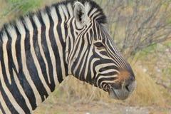 Zebra - African Wildlife Background - Stallion Sublime Stock Photo