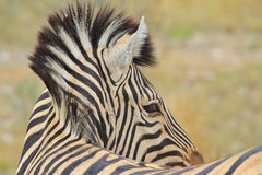 Zebra - African Wildlife Background - Striped Icon Royalty Free Stock Photo