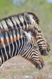 Zebra - African Wildlife Background - Striped Twins. A pair of Burchell's Zebra pose in unison, as seen in the wilds of Namibia, southwestern Africa Stock Photo