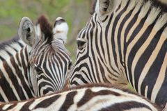 Zebra - African Wildlife Background - Stripes and Lines. A Burchell's Zebra stares into the lens from within a herd, as seen in the wilds of Namibia Stock Photo